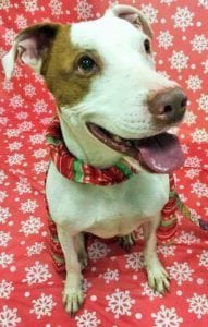 a smiling dog surrounded by Christmas Decorations looking for a new family