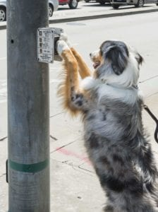 service dog pushing crosswalk button for pedestrian
